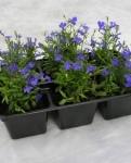 Рассада однолетних растений, цветов дешево, опт. Доставка по Москве и области