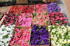 Купить рассаду цветов в москве